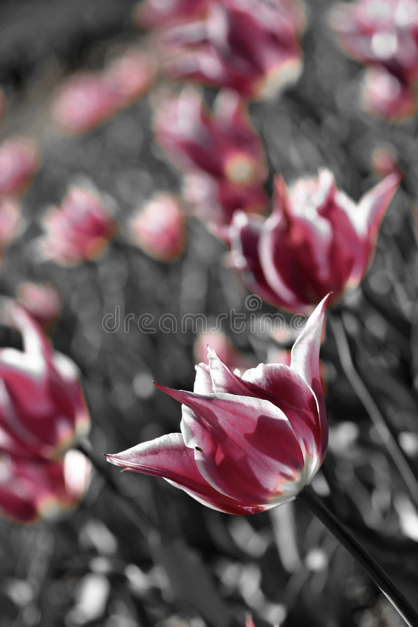 Soft Pink Tulips Stock Photos