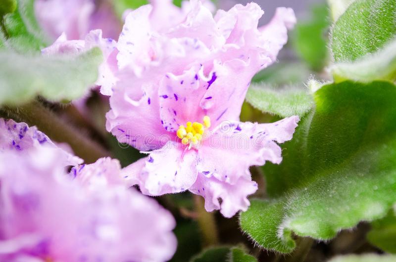 The soft pink violet with purple dots. Indoor plant. Green leaves with villi. The most delicate flower is with a wonderful fragrance royalty free stock photos