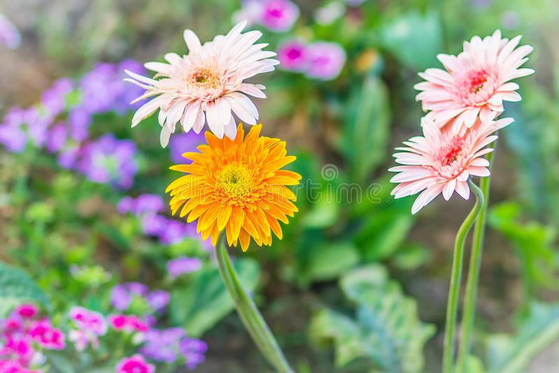 Soft pink and yellow hybrid Gerbera or Barberton daisy flowers (Gerbera jamesonii hybrida) on the flowerbed. Gerbera jamesonii, al stock images