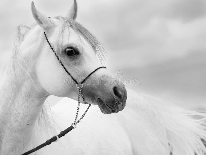 Soft portrait of white wonderful arabian stallion at sky backgr royalty free stock images