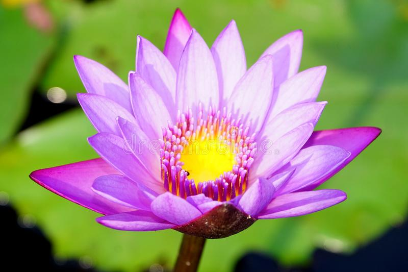 A soft purple color water lily flower. stock image