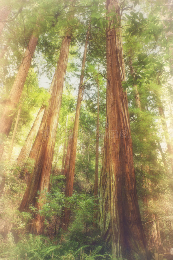 Soft romantic forest natural background with faded areas for cop. Soft romantic forest natural background with view of soaring giant redwood trees with faded stock photo