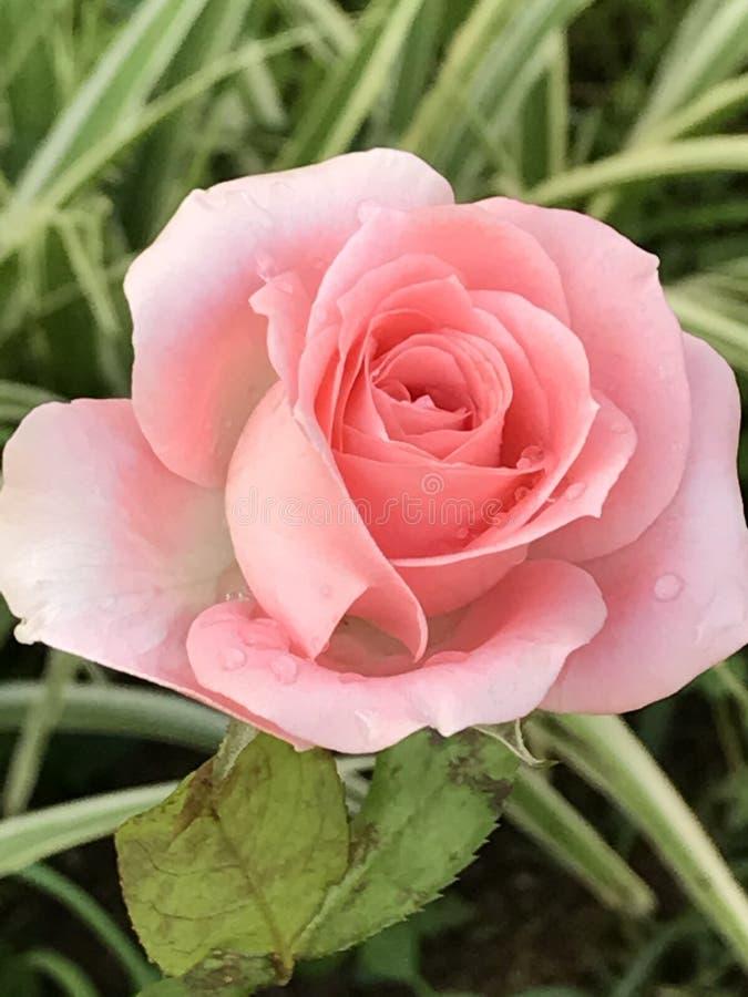 Soft rose stock photo