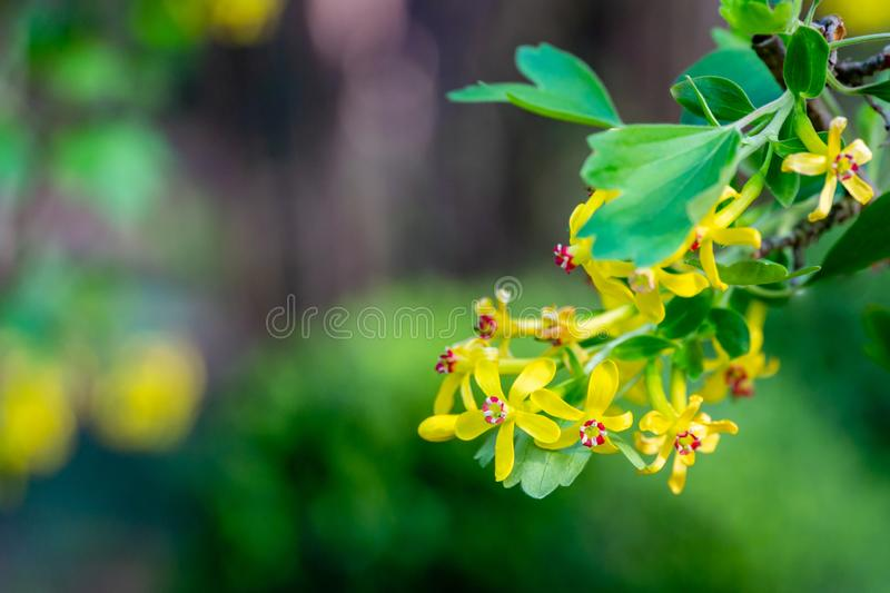 Soft selective focus of yellow Ribes aureum flower blooming. Flowers golden currant, clove currant, pruterberry stock image