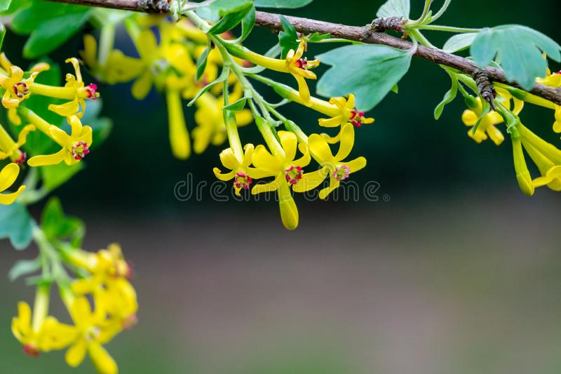 Soft selective focus of yellow Ribes aureum flower blooming. Flowers golden currant, clove currant, pruterberry stock photo