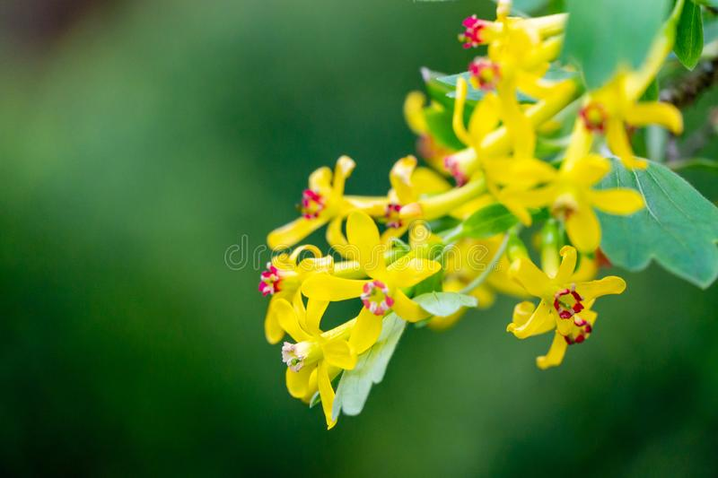 Soft selective focus of yellow Ribes aureum flower blooming. Flowers golden currant, clove currant royalty free stock image
