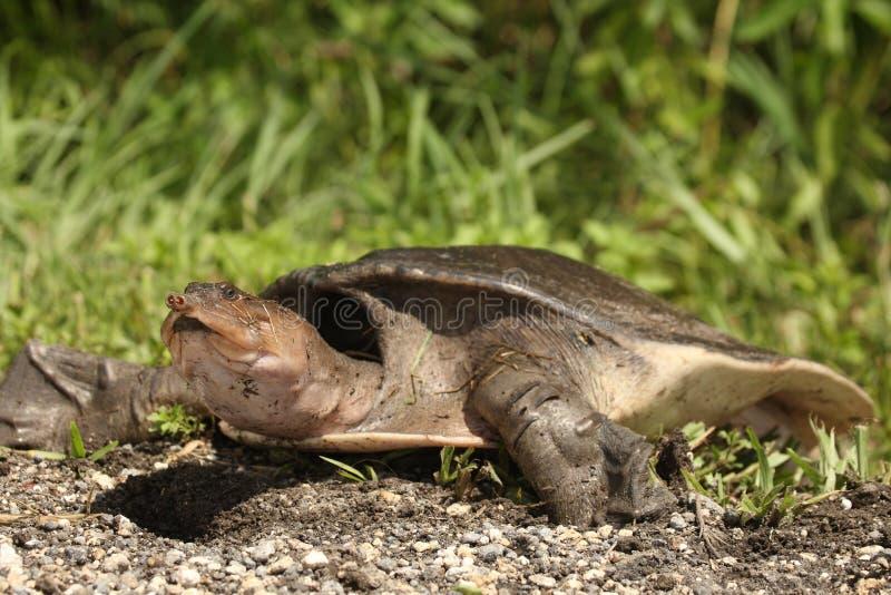 'Soft Shelled Turtle', также называемая Флорида Softshell Turtle Apalone ferox в национальном парке Everglades стоковые фотографии rf