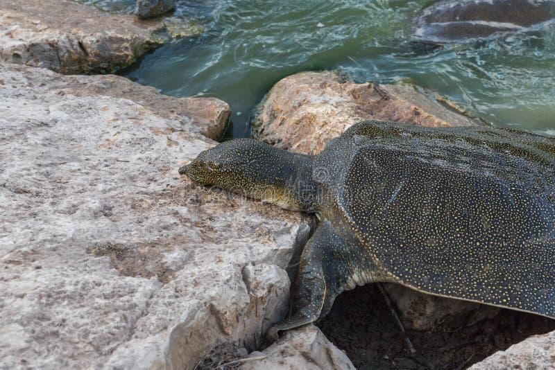 Soft-skinned schildpad van Nijl - Trionyx-triunguis - klimmen op het steenstrand op zoek naar voedsel in Alexander River dichtbij royalty-vrije stock afbeelding