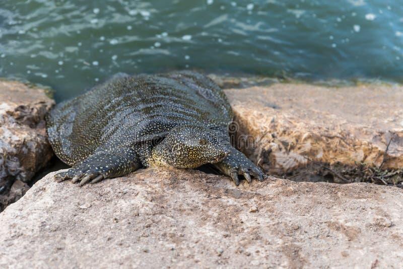 Soft-skinned schildpad van Nijl - Trionyx-triunguis - klimmen op het steenstrand op zoek naar voedsel in Alexander River dichtbij stock afbeelding