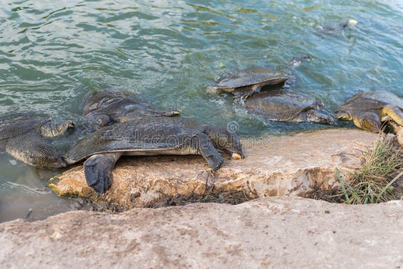 Soft-skinned schildpad van Nijl - Trionyx-triunguis - klimmen op het steenstrand op zoek naar voedsel in Alexander River dichtbij stock afbeeldingen