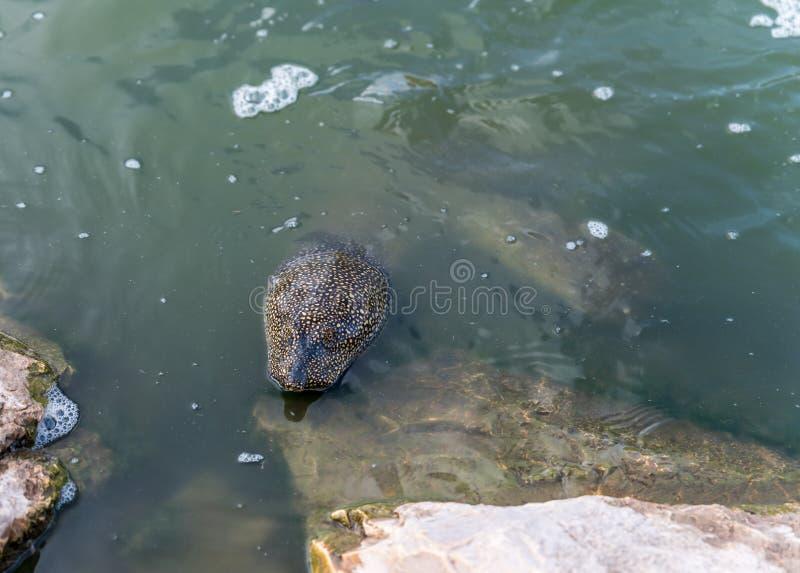 Soft-skinned schildpad van Nijl - Trionyx-triunguis - klimmen op het steenstrand op zoek naar voedsel in Alexander River dichtbij royalty-vrije stock foto
