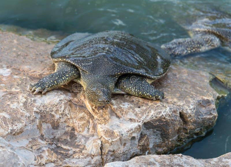 Soft-skinned schildpad van Nijl - Trionyx-triunguis - klimmen op het steenstrand op zoek naar voedsel in Alexander River dichtbij royalty-vrije stock foto's