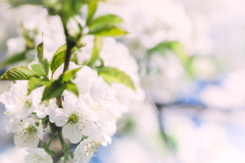 Soft spring apple flowers background royalty free stock images