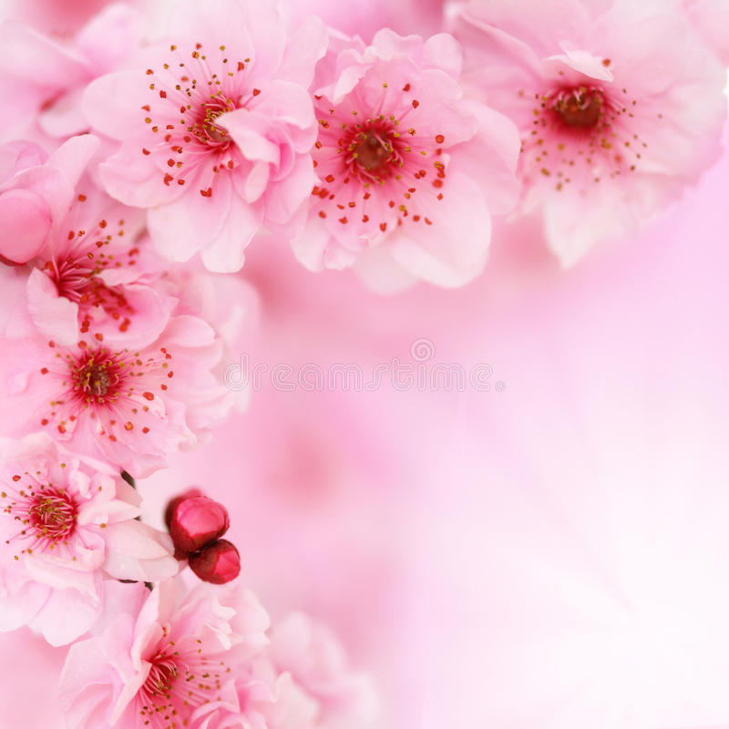 Soft spring cherry flowers background stock images