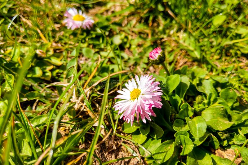 Soft sunshine falls on daisy flowers on a clear summer day. Nature background.  royalty free stock photography