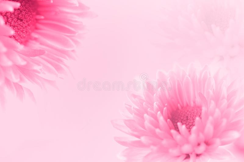 The Soft sweet pink flower for love romantic dreamy background i royalty free stock images