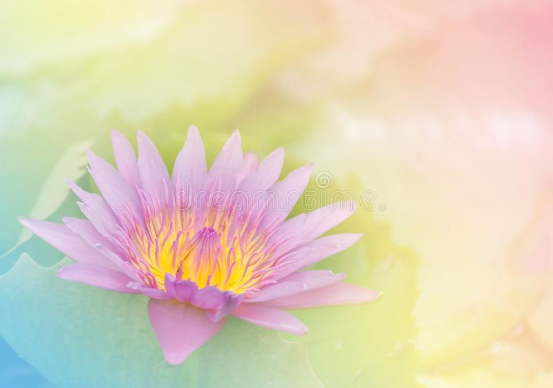 Soft sweet pink lotus flower with pastel color for background stock images