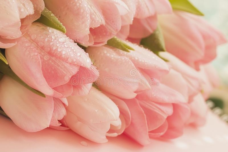 Soft tender tulips of Salmon, pale pinkish orange, light pink color with dew close-up. Spring flowers, abstract romantic stock photography
