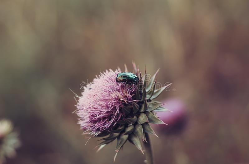 Pearl beetle flew on a large bud of a wild flower. royalty free stock photography