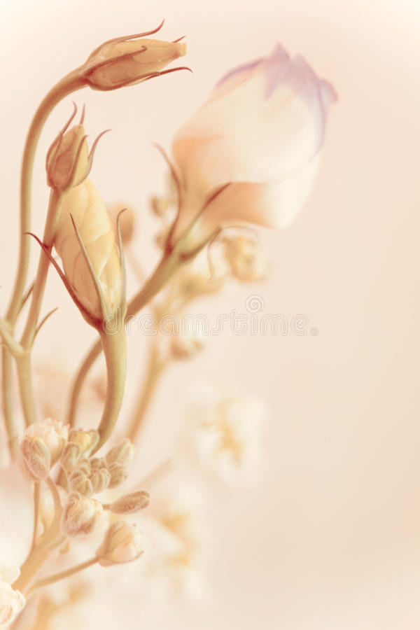 Soft tulip with flower-bud stock photos