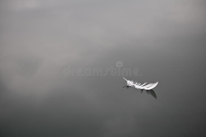 Soft white bird feather isolated floating on still water lake background. Soft white bird feather isolated floating on still water lake with reflection in black stock image