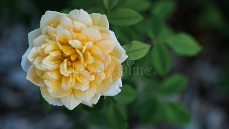 Soft white and light yellow blooming Texas rose. Soft white and light yellow Texas rose in full bloom, taken in July, selective focus royalty free stock photography
