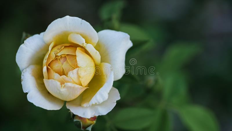 Soft white and light yellow Texas rose in full bloom stock image