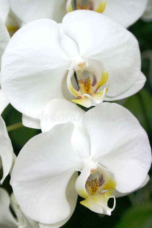 Soft white orchids stock images