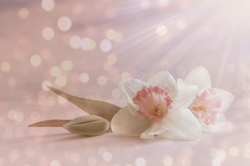 Soft, white pink daffodil flower, spring blossom on pastel background with blur lights. romantic floral card, composition royalty free stock images