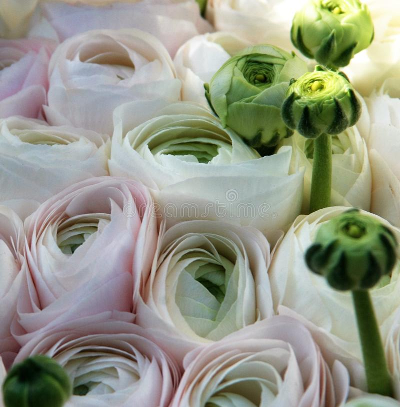 Soft white and pink ranunculus stock photography