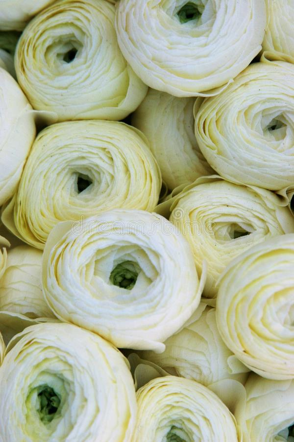 Soft white ranunculus royalty free stock images