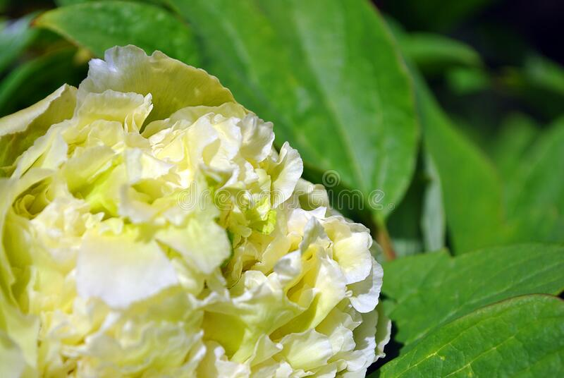 Soft yellow-green terry peony flower, blurry petals close up detail, green blurry leaves background. Soft yellow-green terry peony flower, blurry petals close up royalty free stock images