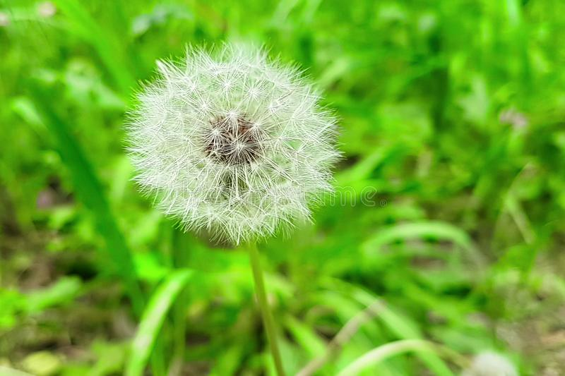 Softly white flower dandelion on the green background, concept o. F spring is coming stock image