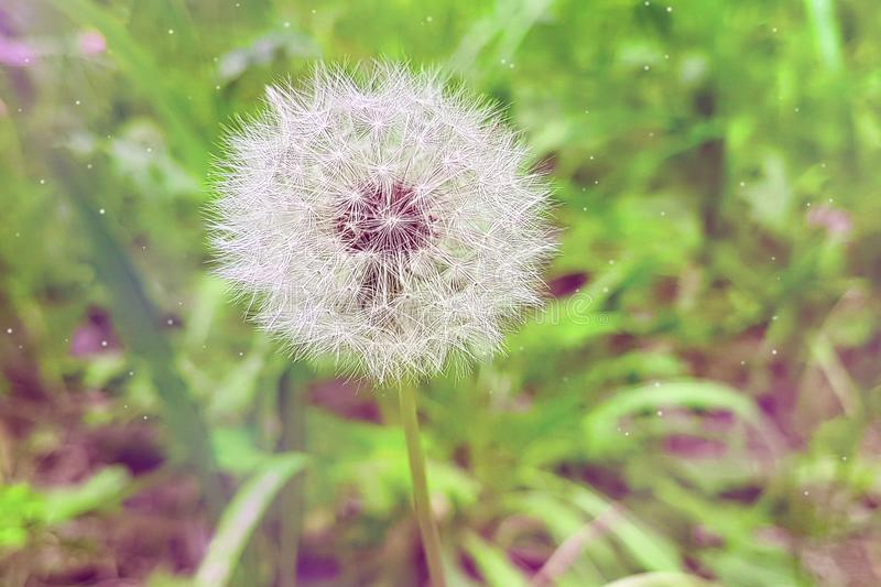 Softly white flower dandelion on the green background, concept o. F spring is coming royalty free stock photography