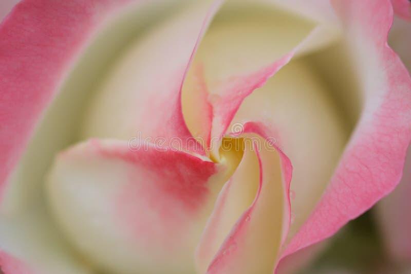 Download Softness stock photo. Image of botanical, rose, softness - 7228454