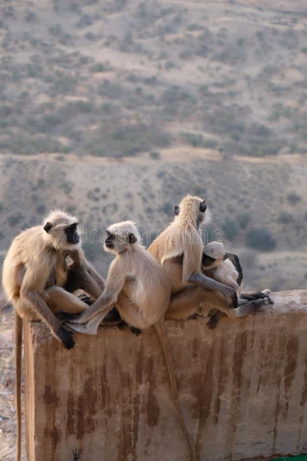 A family of black faces monkeys, India royalty free stock photography
