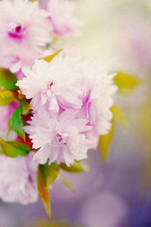 Softness of a pink cherry blossom stock images