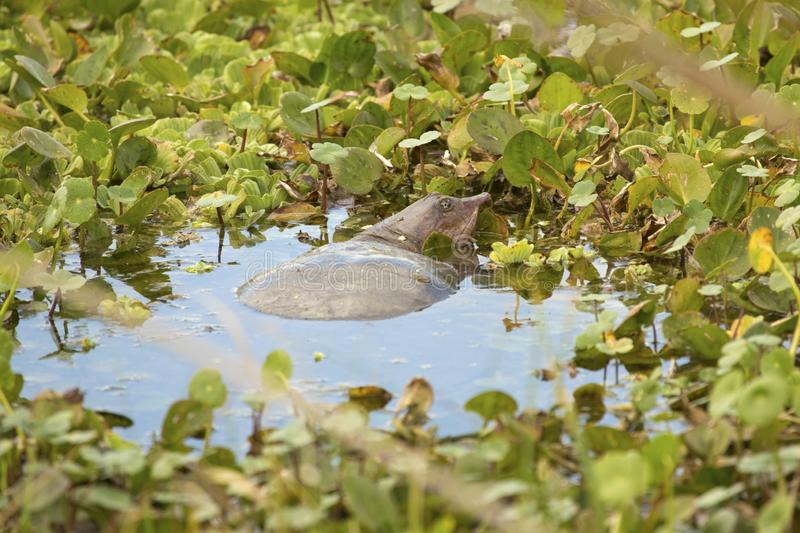 Softshell turtle in a swamp at Orlando Wetlands Park stock images