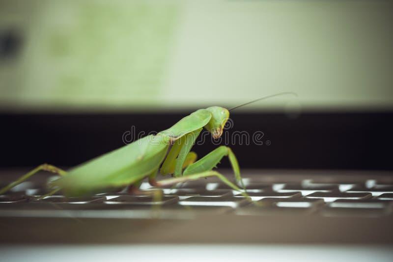 Software bug metaphor, green mantis. Sitting on laptop keyboard royalty free stock photography