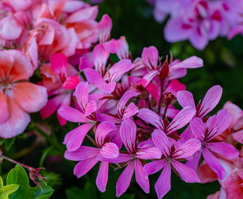 Sofy close-up of beautiful bright pink blooming Geranium flowers Geraniums pink flowers. Summer flower landscape, fresh wallpaper and nature background concept stock photo