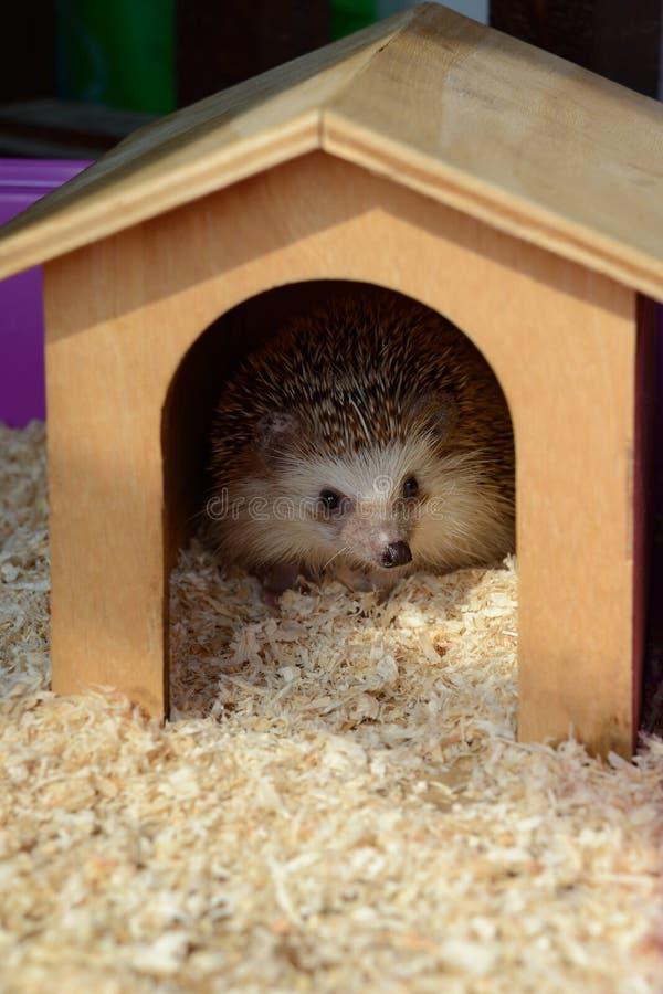 Soggiorno dell'istrice in casa di legno immagine stock