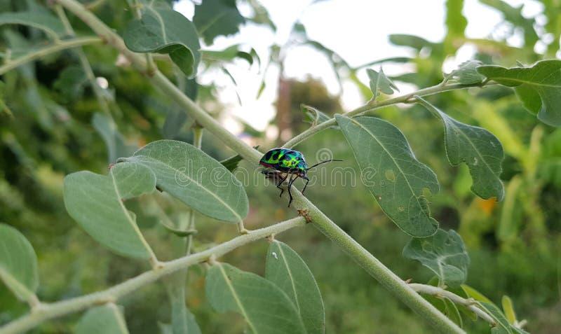 Soggiorno metallico verde dello scarabeo dell'legno-alesaggio sulla foglia durante il tempo di giorno nella foresta con fondo ver immagine stock libera da diritti