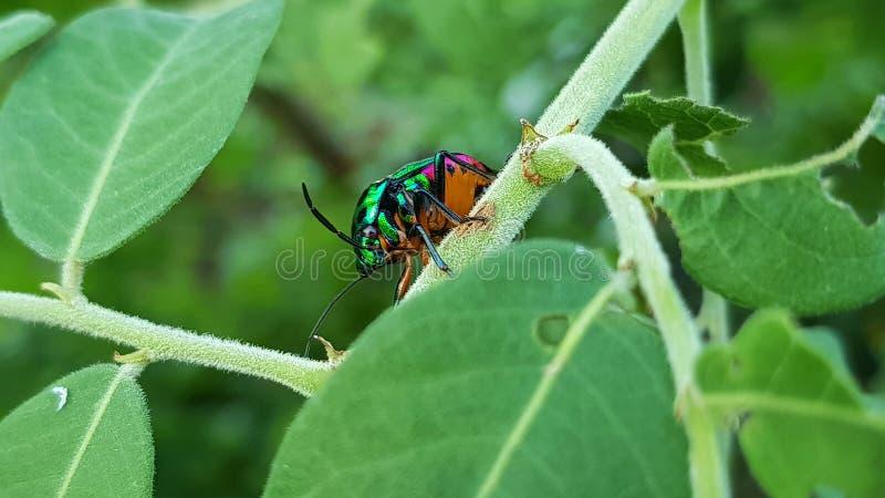 Soggiorno metallico verde dello scarabeo dell'legno-alesaggio sulla foglia durante il tempo di giorno nella foresta con fondo ver immagini stock libere da diritti