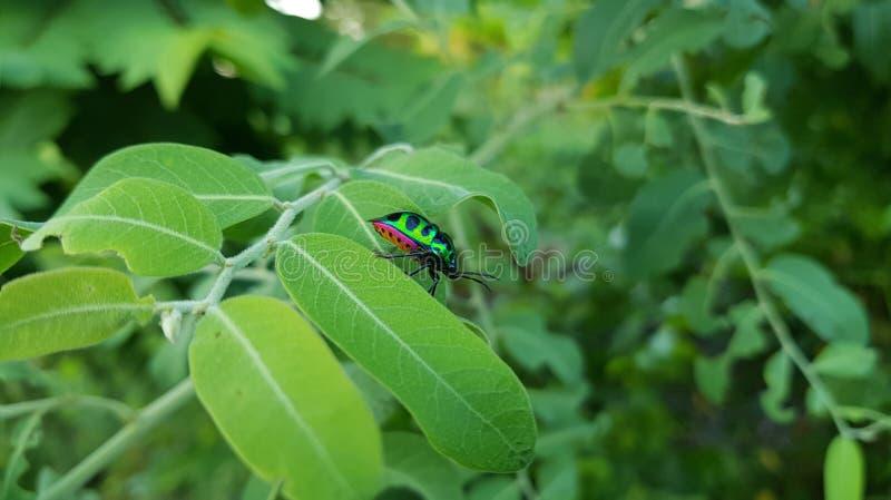 Soggiorno metallico verde dello scarabeo dell'legno-alesaggio sulla foglia durante il tempo di giorno nella foresta con fondo ver fotografia stock libera da diritti