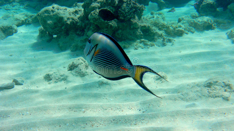 Sogh surgeon fish in the Red Sea royalty free stock images