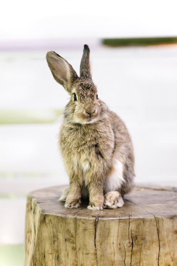 Sogni animali svegli del coniglio che si siedono su un di legno immagine stock