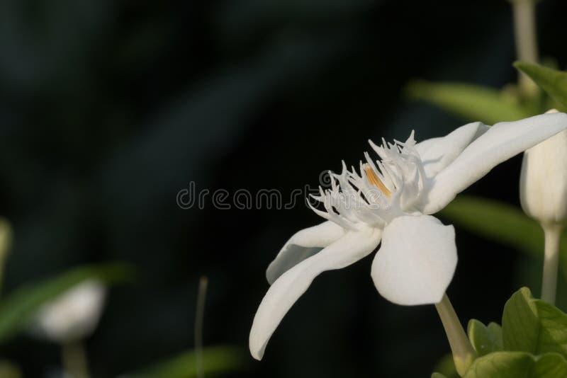 Sogno del fiore bianco immagine stock libera da diritti
