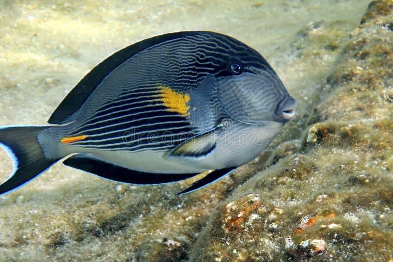 Sohal surgeon-fish stock photography