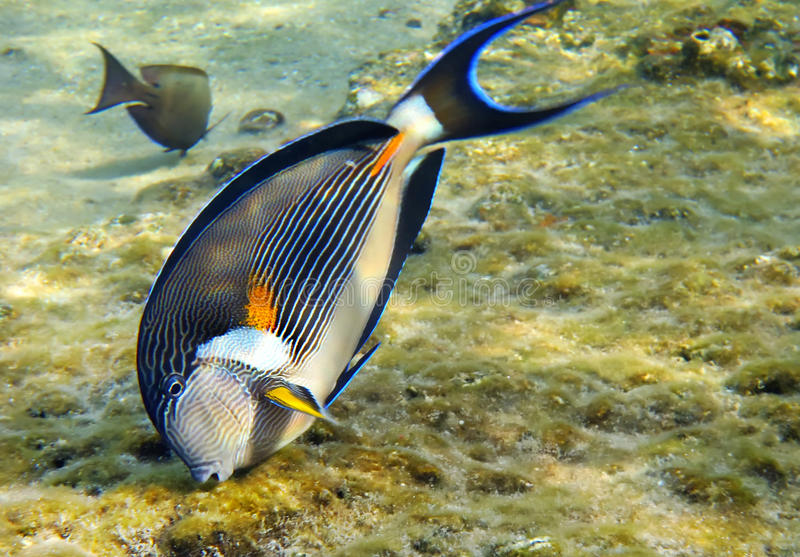 Sohal surgeon-fish (Acanthurus sohal) royalty free stock photography