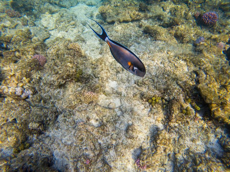 Shoal Surgeon fish at the red sea coral reef Acanthurus sohal. stock images